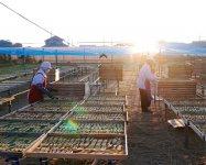干し芋は、短い冬の日照時間の合間を縫ってつくられる