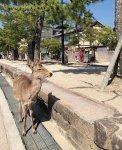 いつもは観光客で賑わう参道にも人影はなく、鹿も手持ち無沙汰(4月7日広島・厳島神社) 写真:著者