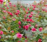 バラは病気や虫がつきやすく、農薬不使用での栽培は難しい