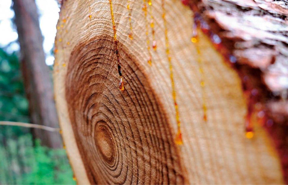 熊野ヒノキから採れるオイルは、夏はさらっとフレッシュな香りを、冬は深みのある甘い香りを醸し出す。この違いも楽しんでもらえる売り方をしたいと竹原さんは語る