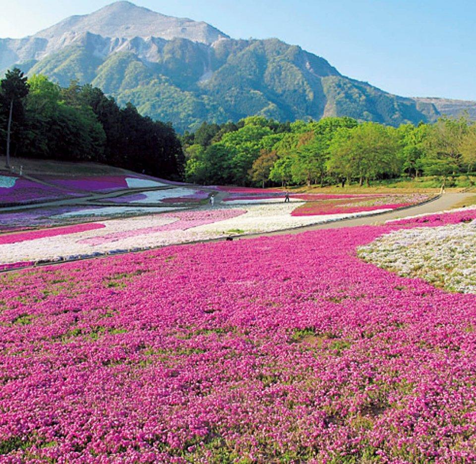 羊山公園の芝桜の丘。約40 万株の芝桜があり、市内を一望できる。見頃は4月中旬から5月中旬だ(写真提供=秩父観光協会)