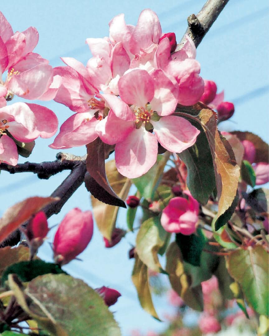 五所川原名産の果肉、葉、花まで赤い「赤~いりんご」。市内にあ る並木道の花の見頃は5月上旬だ