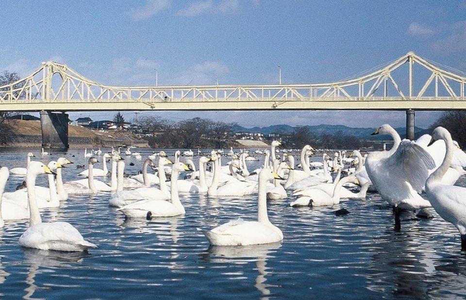 冬になると北上川河畔に白鳥などの渡り鳥が集まる