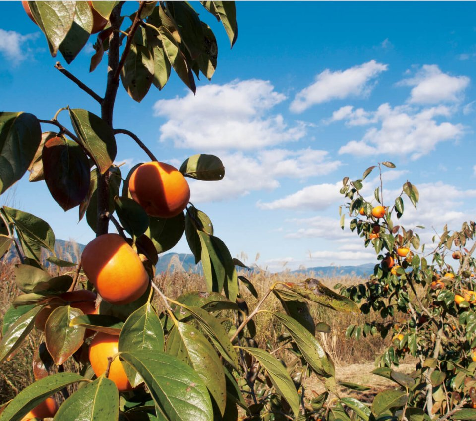 橋本市は全国有数の柿の産地。市内を東西に流れる紀の川両 岸から山腹にかけて柿の木畑が広がっている