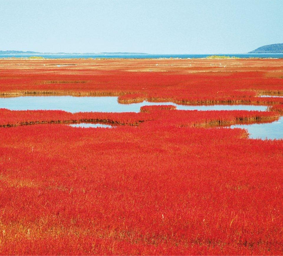 昨年8月に復活宣言が出された能取湖のサンゴ草。9月上旬から色付き始め、中~下旬に見頃を迎える(写真提供=網走市観光協会)