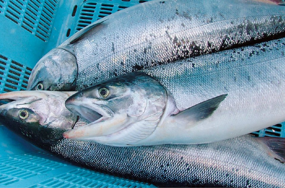 網走は「食」に恵まれている。秋鮭はもちろん、幻のカニといわれるアブラガニも見逃せない