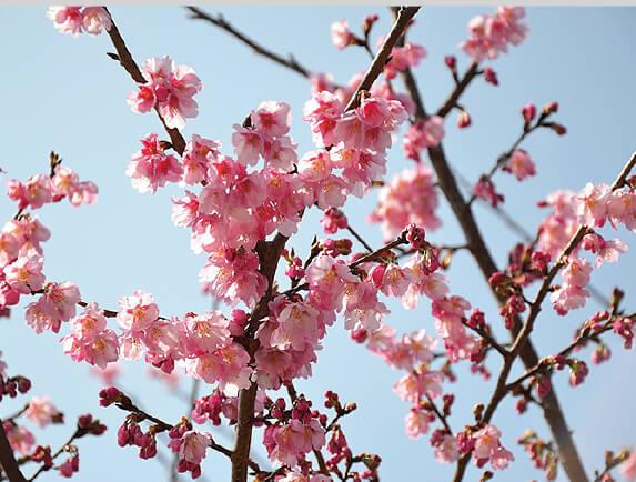 掛川桜は2014(平成26)年に認定された新品種。川沿いに300 本が植えられている(写真提供:掛川市)