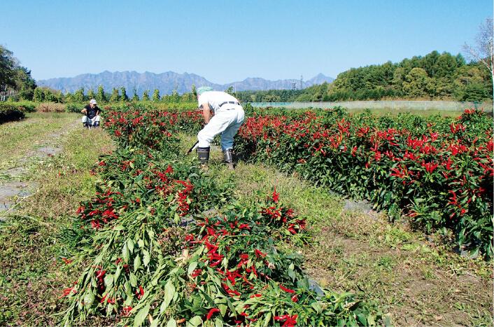 長野県内にある自社農場では、唐辛子などを栽培。地元の信州大学農学部と共同で、長野県の山間地向きの品種を開発した