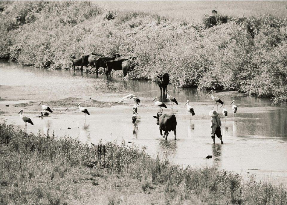 コウノトリと共に写る農婦と牛:昭和35年ころに市内で撮影。かつては人々の暮らしの中にコウノトリがいた