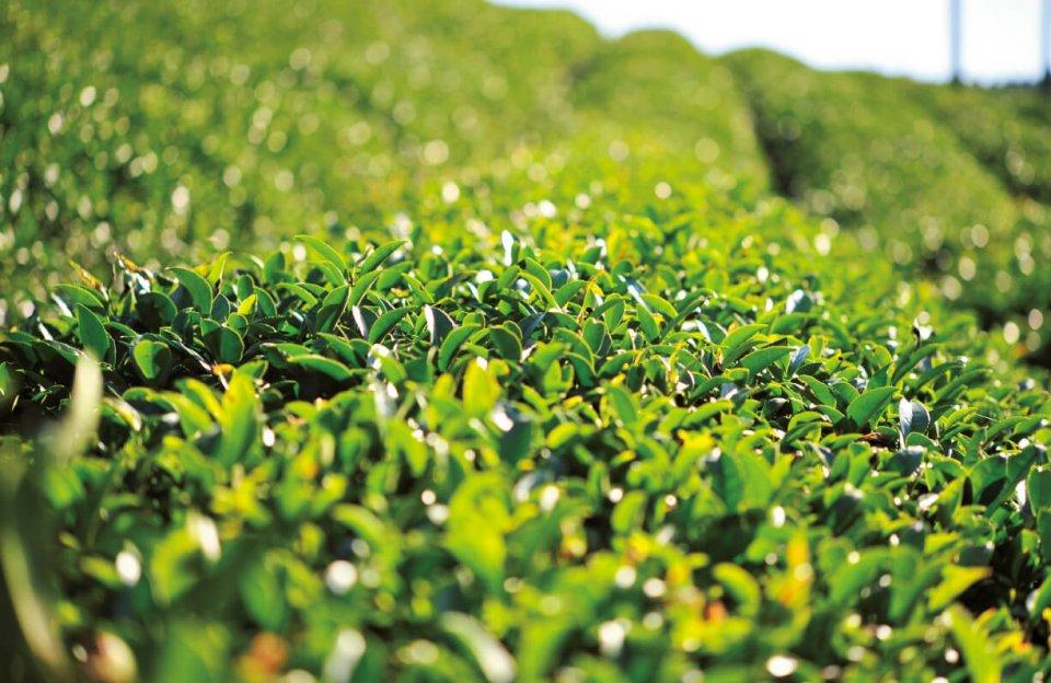 大和高原に広がる雄大な茶畑がよみがえった