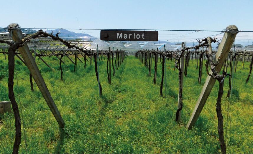 自社農場では草生栽培と呼ばれる方法でブドウを栽培している。また新しい種のブドウの栽培試験も行う