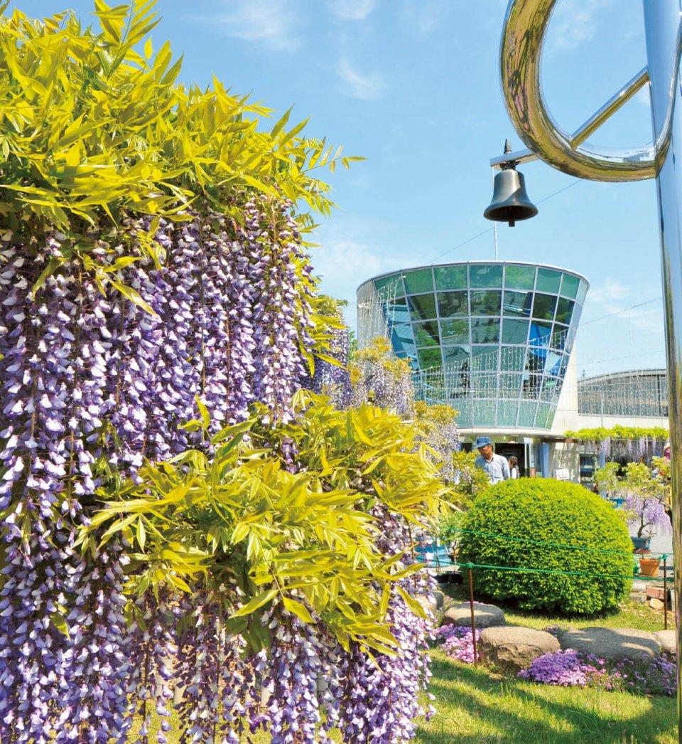 藤岡市の花である藤が咲き誇る「ふじの咲く丘」