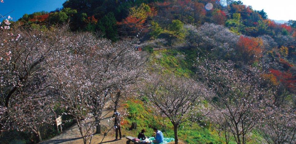 四季折々の自然を満喫できる「桜山公園」。中でも、11月上旬〜12月中旬と4月の1年に2度開花する桜が人気