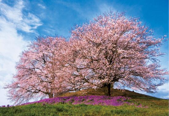 白石台地にある5世紀前半の前方後円墳の「白石稲荷山古墳」。桜の名所でもある