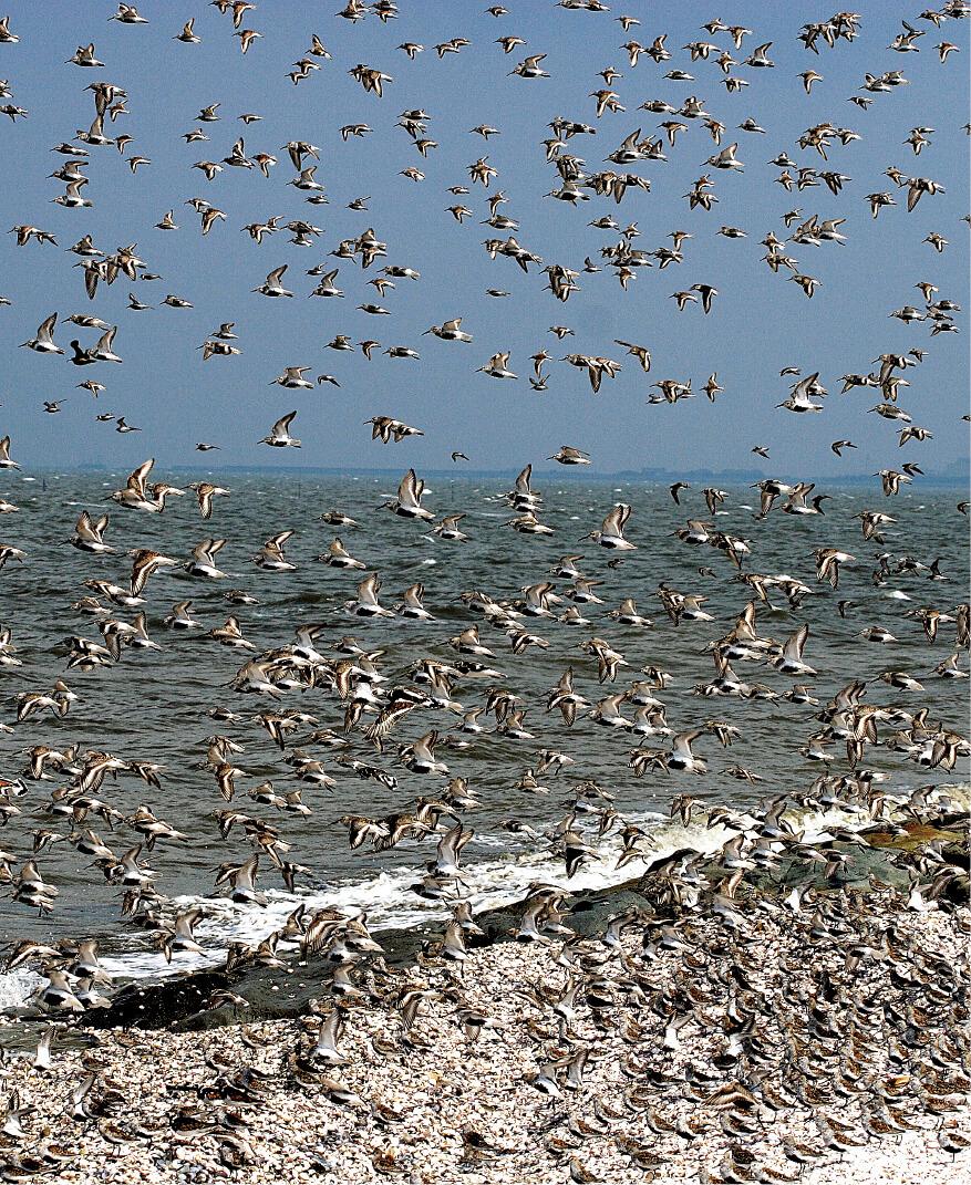 荒尾干潟(渡り鳥):シギ・チドリ類などの中継地・越冬地となっている