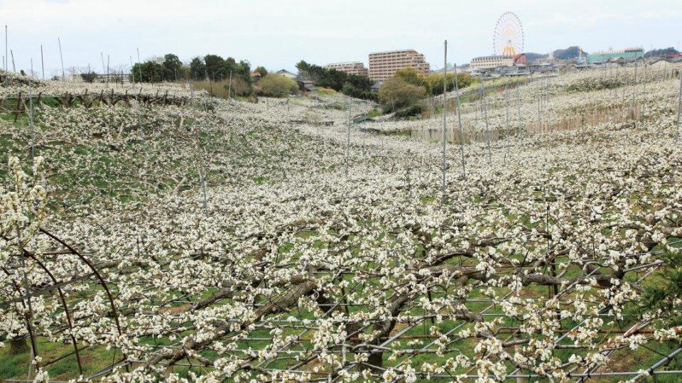 梨の花:市の花である「梨の花」。春になると白いベールのような梨の花で市内が彩られる
