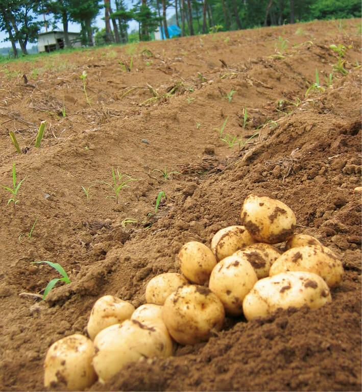 恵まれた気候と重粘土質の土壌で育まれた白土ばれいしょ