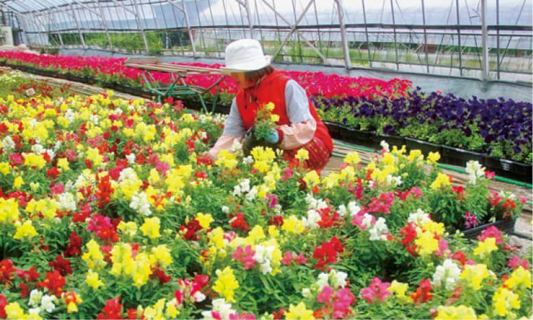 花苗/ビニールハウスで栽培される色とりどりの花。道内はじめ全国に出荷される