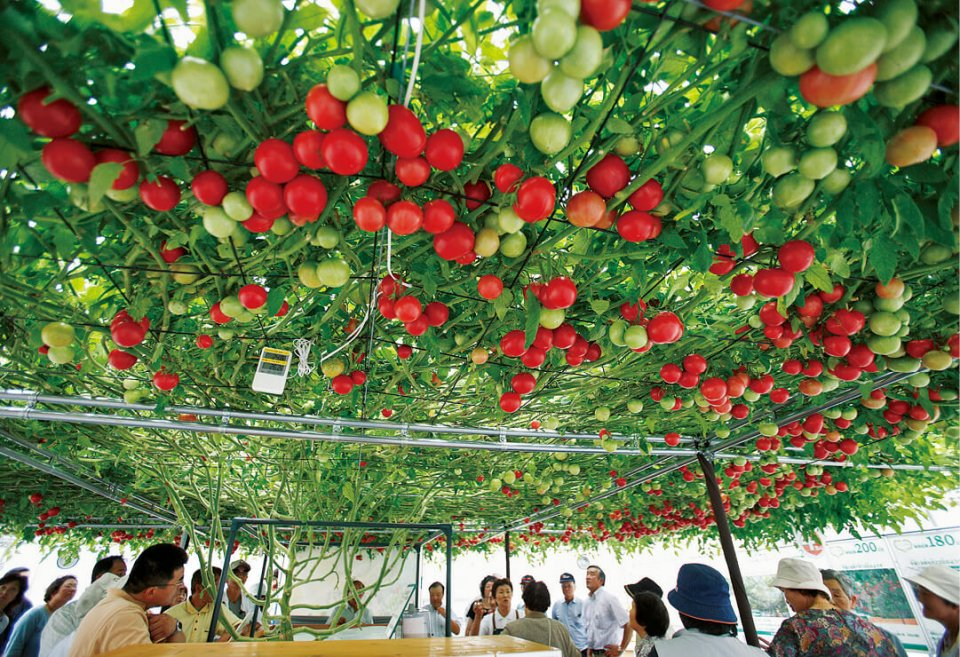 世界一大きなトマトの木「The largest tomato plant」/えこりん村のトマトの森にある。2013年11月10日にギネス世界記録に認定