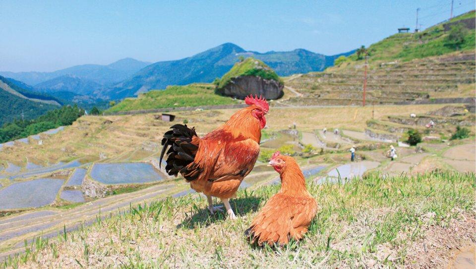 熊野地鶏:三重県原産のシャモ「八木戸」と三重県の銘柄鶏「伊勢赤どり」に「名古屋コーチン」を掛け合わせた地鶏。熊野市のみで飼養されている