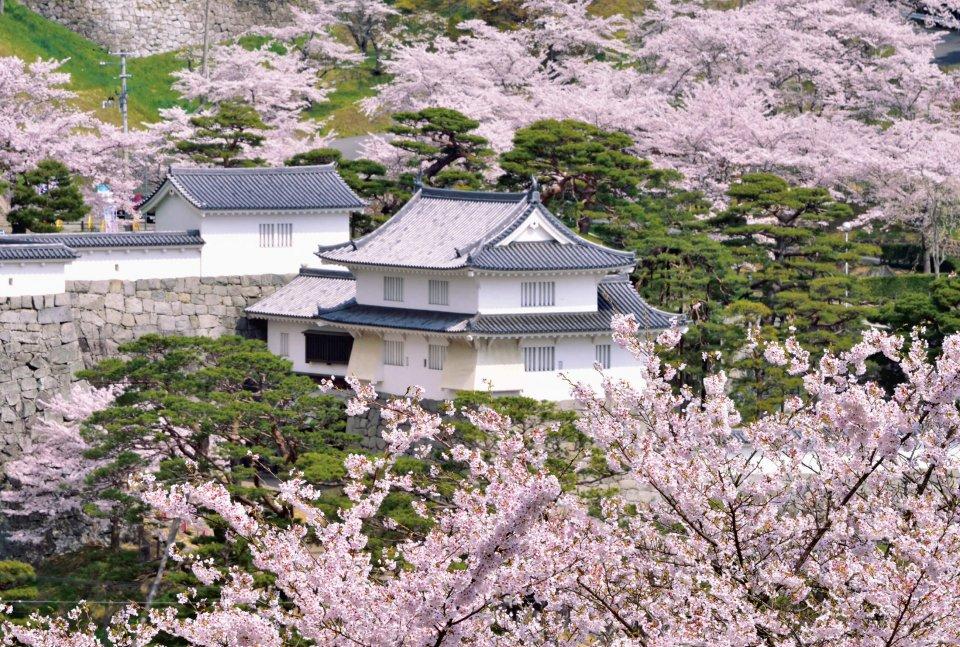 二本松城跡「霞ヶ城公園」の桜。本年4月11・12日に「全国さくらシンポジウム」が開催される