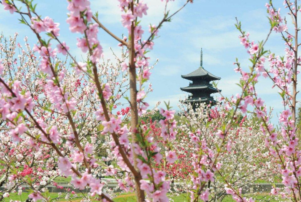 備中国分寺の五重塔と桃(4月):総社を代表する景観