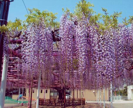 三学院の藤:推定で樹齢100年以上、幹回り3.3mの藤の木(天然記念物)。5月初旬が見ごろ