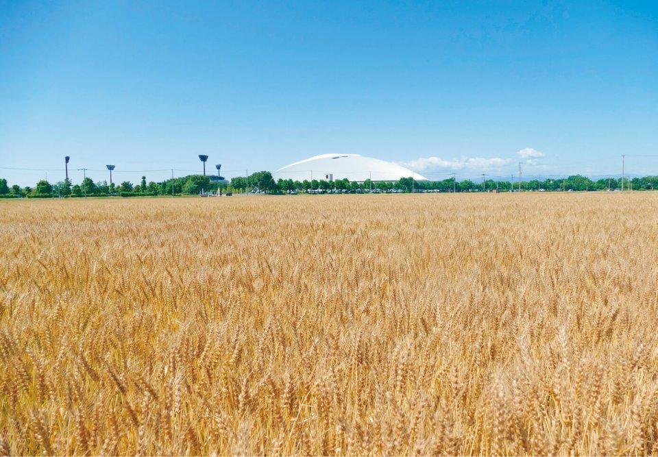 本州トップレベルの作付面積を誇る熊谷市の小麦。主な栽培品種の農林61号、あやひかりがうどんに適した中力粉になることに着目し、熊谷うどんを開発した