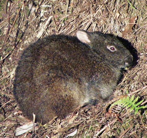 国の特別天然記念物・アマミノクロウサギ