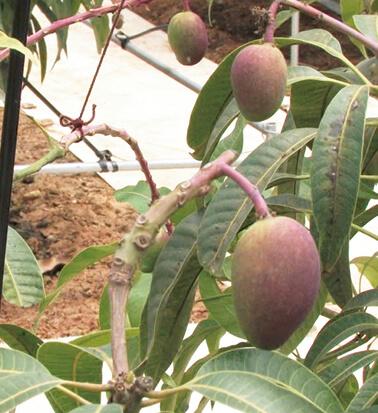 奄美を代表する果物。マンゴー