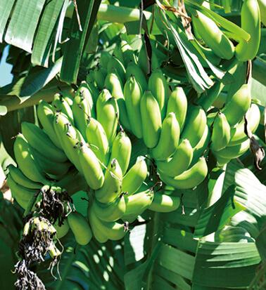 奄美を代表する果物。島バナナ