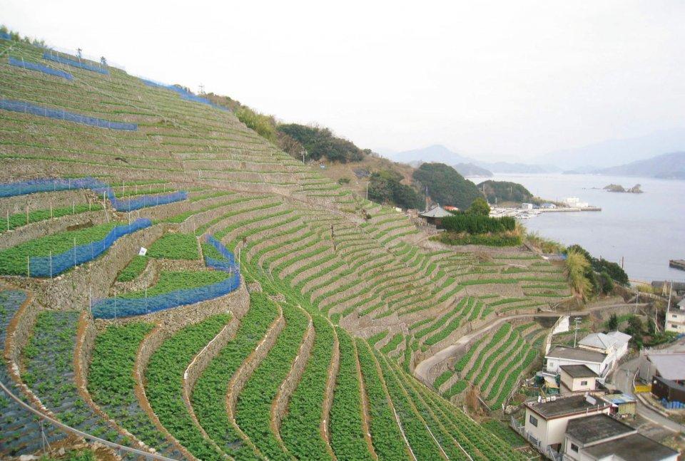 遊子水荷浦の段畑:30度を超える急傾斜地に開墾された段畑。春にはジャガイモが芽吹く。平成19(2007)年7月、重要文化的景観に選定