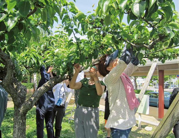 二十世紀梨の袋掛け作業