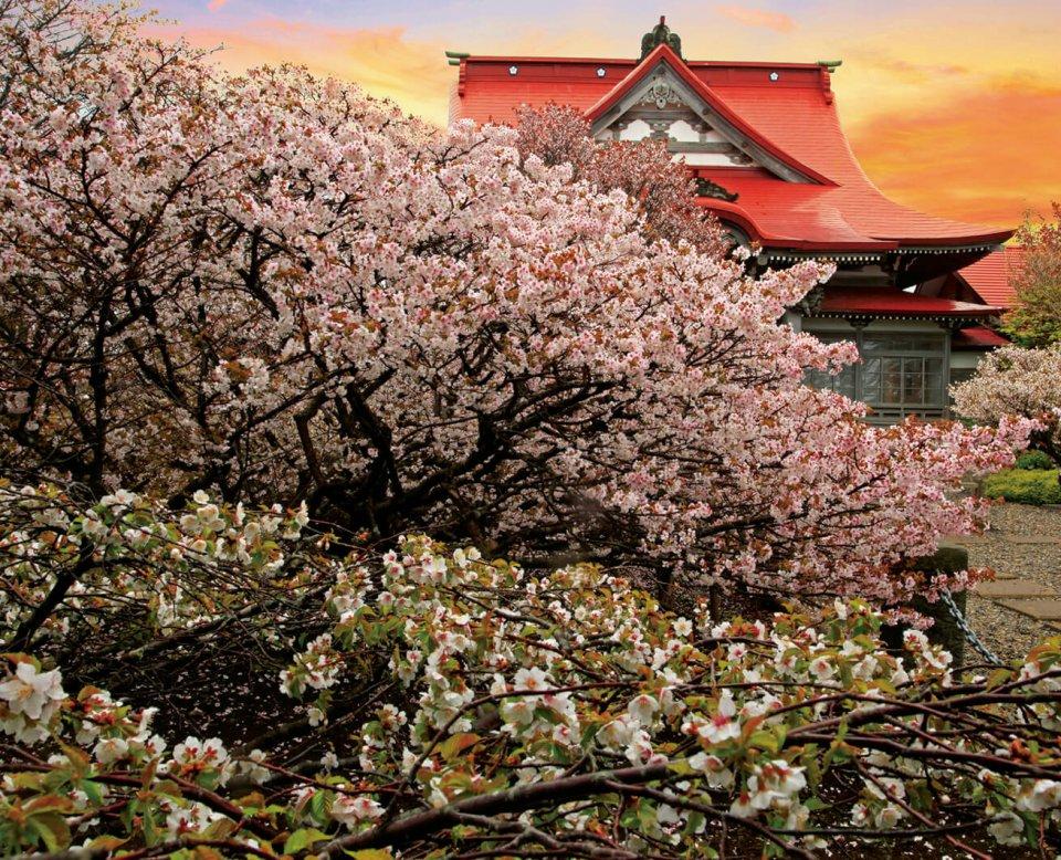 清隆寺と千島桜:明治時代に国後島から持ち帰った桜を移植、樹齢150年ほど。桜前線の終着地