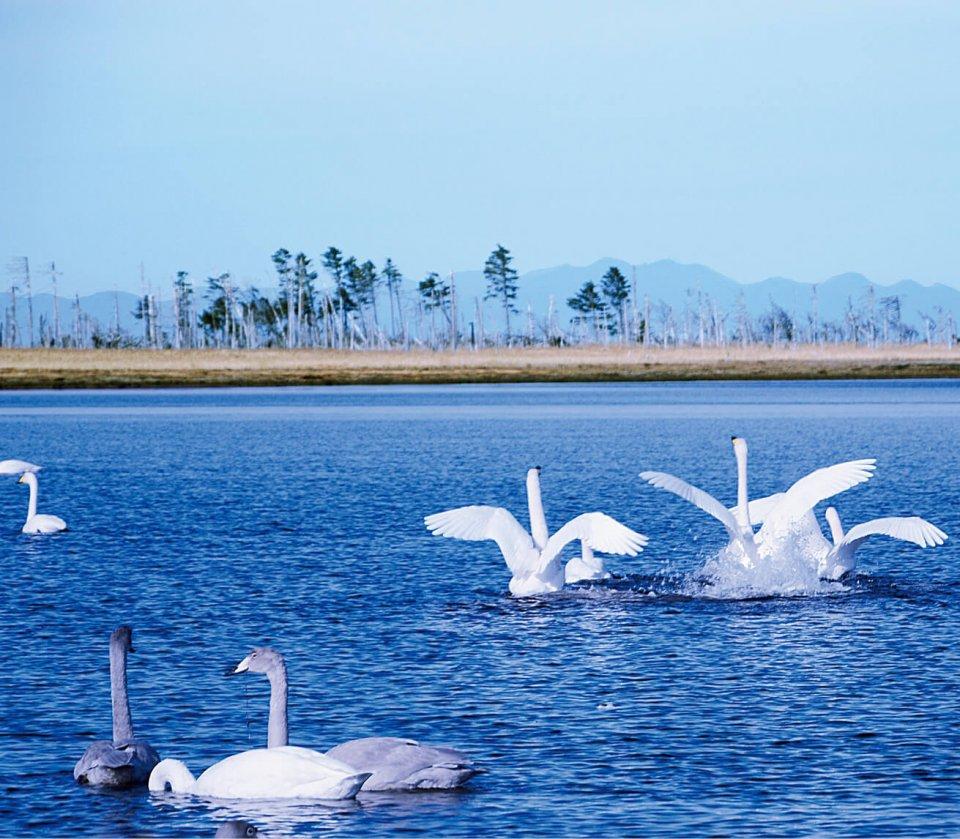 風蓮湖:根室市と別海(べっかい)町にまたがる国内最大級の白鳥の飛来地。ラムサール条約の登録湿地