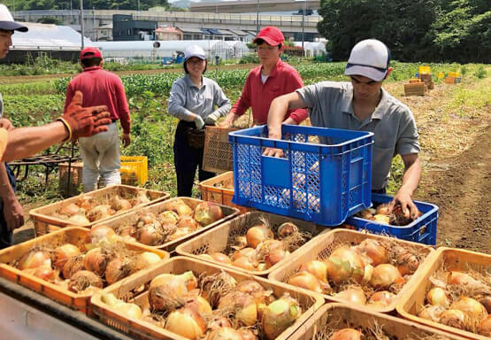 農場でのタマネギの収穫