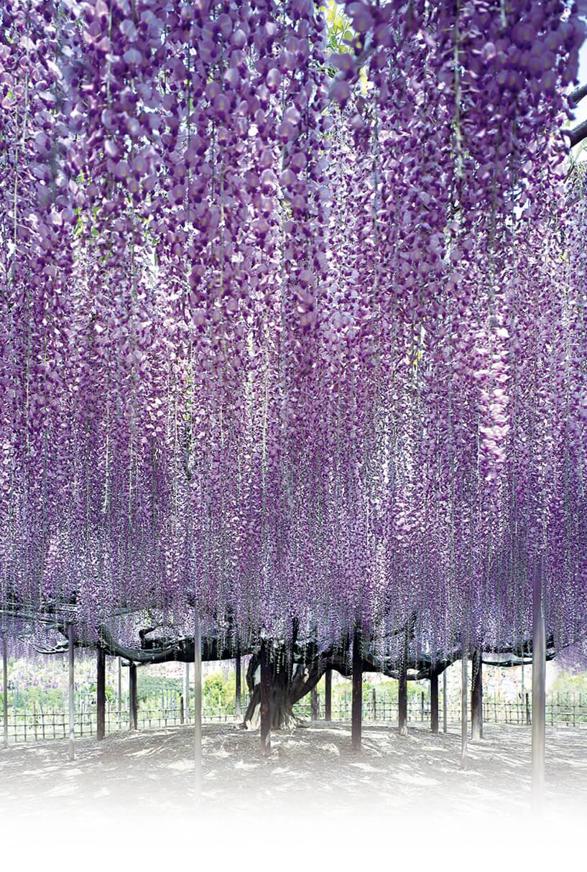 あしかがフラワーパークを象徴する大藤棚。開花時期のライトアップのほかに、イルミネーション点灯期間も本物さながらの光の花房が風に揺れる