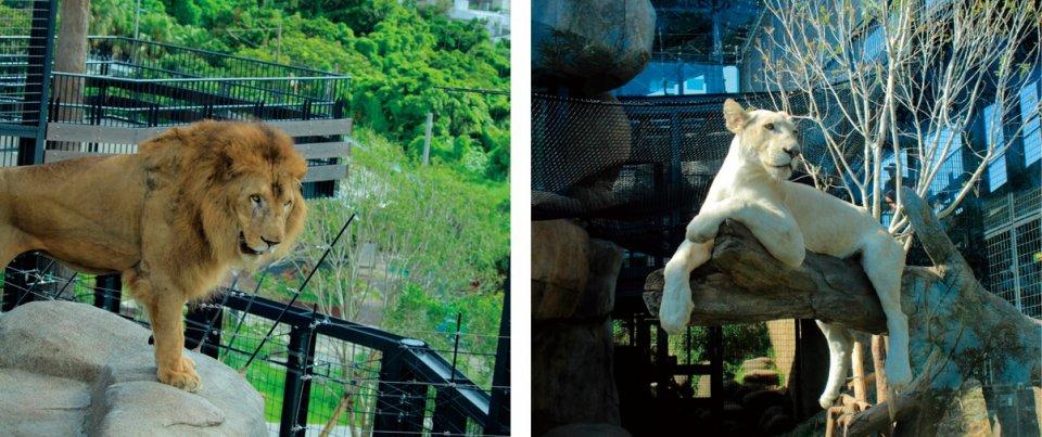 沖縄こどもの国:県内唯一の本格的な動物園。希少なホワイトライオンのリズム(右)が人気。亜熱帯の特性を生かして日本一ユニークな動物園を目指す