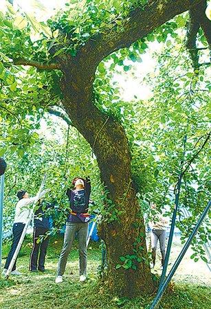 女性会がオーナーになったリンゴの木