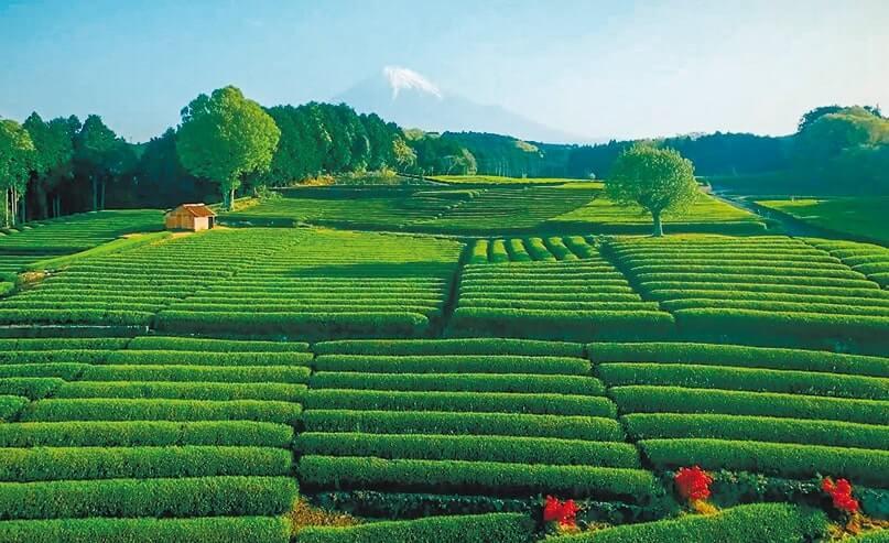 富士山と茶畑の眺望スポット、大淵笹場